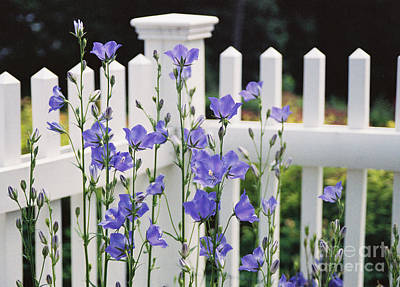 Balloon Flower Photograph - #665 11 Fenced In by Robin Lee Mccarthy Photography