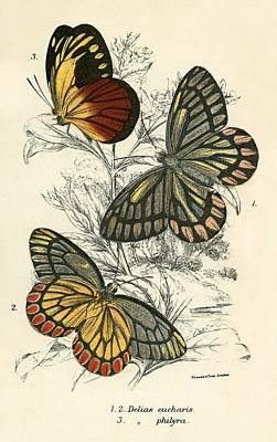 Butterflies Art Print by English School