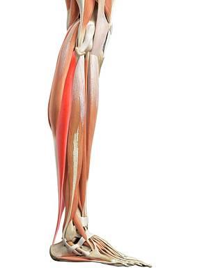 Leg Muscles Art Print by Sebastian Kaulitzki/science Photo Library