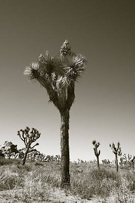 Photograph - Joshua Tree National Park Landscape No 6 In Sepia  by Ben and Raisa Gertsberg