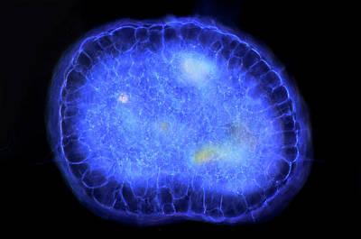 Single-celled Photograph - Actinosphaerium Protozoan by Marek Mis