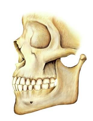Mental Photograph - Adult Teeth by Asklepios Medical Atlas