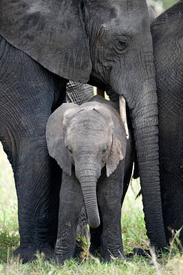 Endangered Species Photograph - African Elephant Loxodonta Africana by Panoramic Images