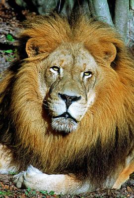 Photograph - African Lion by Millard H. Sharp