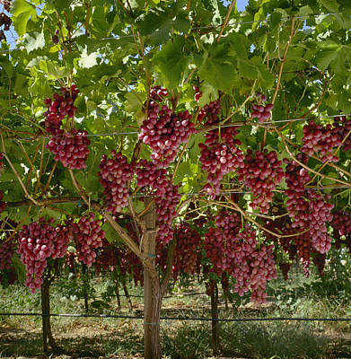 Grape Vine Photograph - Agriculture - Mature, Harvest Ready by Ed Young