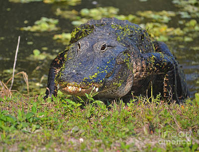 Photograph - 7- Alligator by Joseph Keane