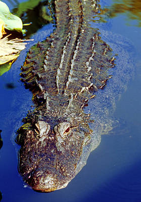 Photograph - American Alligator Swimming by Millard H. Sharp