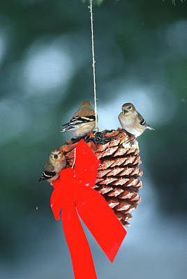 Pine Cones Photograph - American Goldfinches (carduelis Tristis by Richard and Susan Day