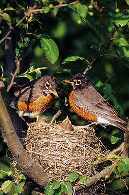 American Robin (turdus Migratorius Art Print