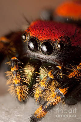 Photograph - Apache Jumping Spider by Scott Linstead