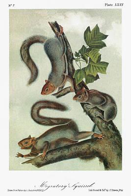 Migrating Painting - Audubon Squirrel by Granger