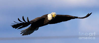 Photograph - Bald Eagle by Ursula Lawrence