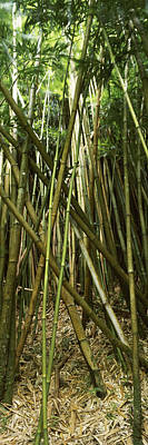 Bamboo Photograph - Bamboo Forest, Oheo Gulch, Seven Sacred by Panoramic Images