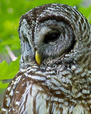 Barred Owl Art Print by Dan Ferrin