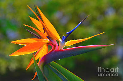 Photograph - 7- Bird Of Paradise by Joseph Keane