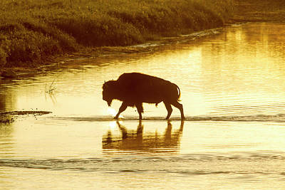 Bison Photograph - Bison Crossing The Little Missouri by Chuck Haney