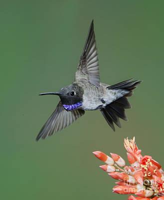 Black-chinned Hummingbird Art Print by Anthony Mercieca