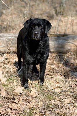 Black Labrador Retriever Art Print by Linda Freshwaters Arndt