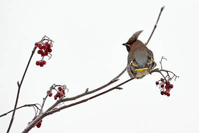Jouko Lehto Royalty-Free and Rights-Managed Images - Bohemian waxwings eating rowan berries by Jouko Lehto