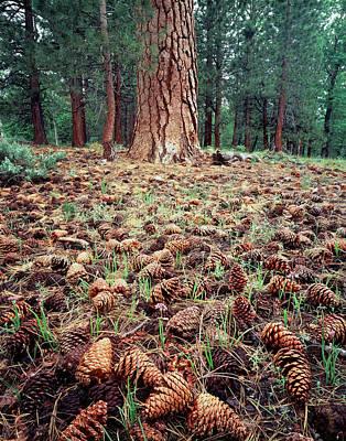 Ponderosa Pine Photograph - California, Sierra Nevada Mountains by Christopher Talbot Frank