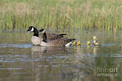 Canada Geese And Goslings Art Print