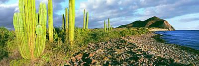 Cardon Cactus Pachycereus Pringlei Art Print