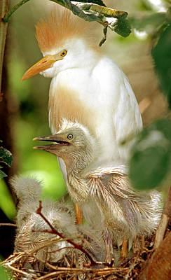 Photograph - Cattle Egret by Millard H. Sharp