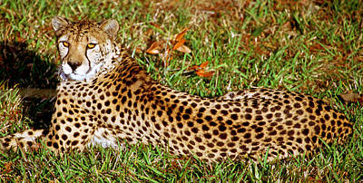 Photograph - Cheetah Acinonyx Jubatus by Millard H. Sharp