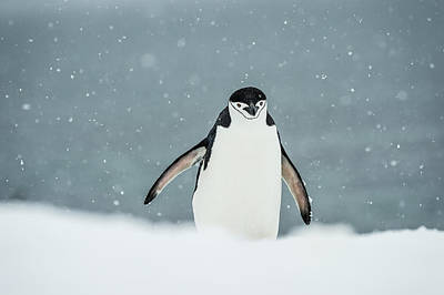 Photograph - Chinstrap Penguin  Pygoscelis by Deb Garside