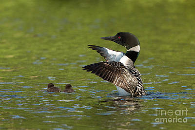 Common Loon Gavia Immer With Young Art Print