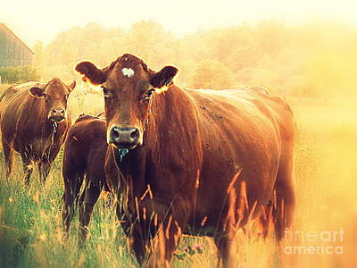 Photograph - Cows by France Laliberte