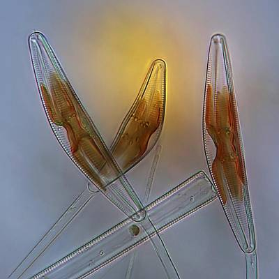 Diatoms, Light Micrograph Art Print by Science Photo Library