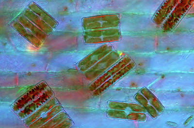 Phytoplankton Photograph - Diatoms by Marek Mis