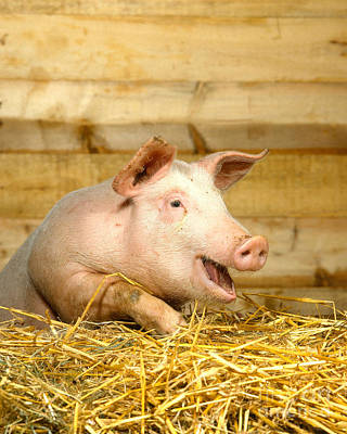 Photograph - A Domestic Pig by Hans Reinhard