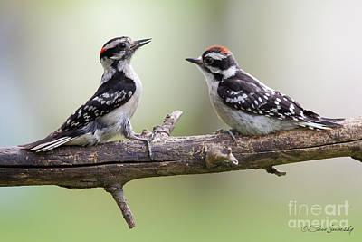 Photograph - Downy Woodpecker by Steve Javorsky