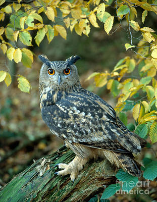 Photograph - Eagle Owl by Hans Reinhard
