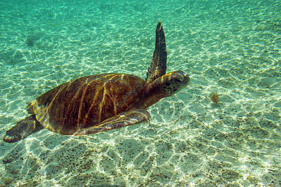Green Sea Turtle Photograph - Ecuador, Galapagos National Park by Jaynes Gallery