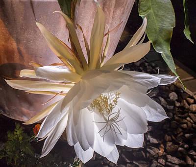 Epiphyllum Oxypetalum Photograph - Epiphyllum Oxypetalum by Stuart Wilson