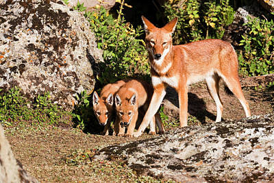 Ethiopian Wolf (canis Simensis Art Print by Martin Zwick