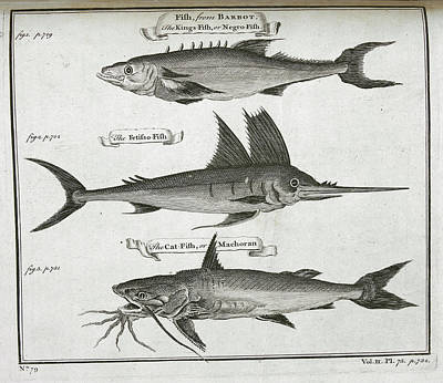 Catfish Photograph - Fish by British Library