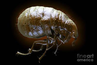 Flea Pulex Irritans Art Print by Science Picture Co