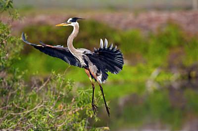 Braking Photograph - Florida, Venice, Great Blue Heron by Bernard Friel