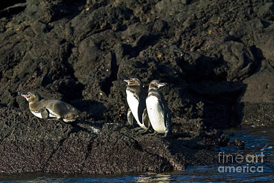 Galapagos Birds Photograph - Galapagos Penguins by William H. Mullins