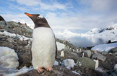 Iceberg Photograph - Gentoo Penguins by Ashley Cooper