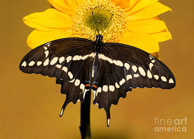 Giant Swallowtail Butterfly Art Print by Millard H. Sharp