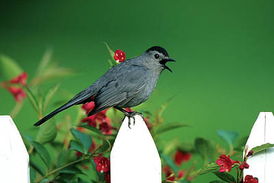 Florida Flowers Photograph - Gray Catbird (dumetella Carolinensis by Richard and Susan Day