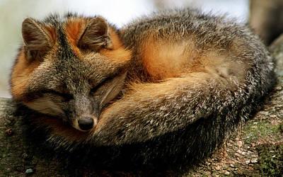Photograph - Gray Fox by Millard H. Sharp
