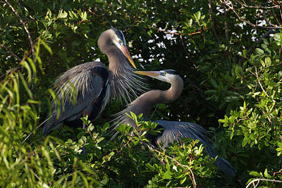 Bonding Photograph - Great Blue Heron (ardea Herodias by Larry Ditto