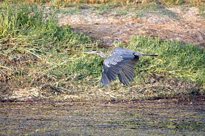 Pittsburgh According To Ron Magnes - Great Blue Heron In Flight by Roy Williams