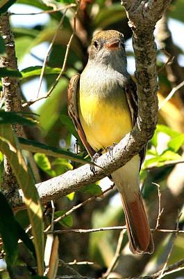 Photograph - Great Crested Flycatcher by Ira Runyan